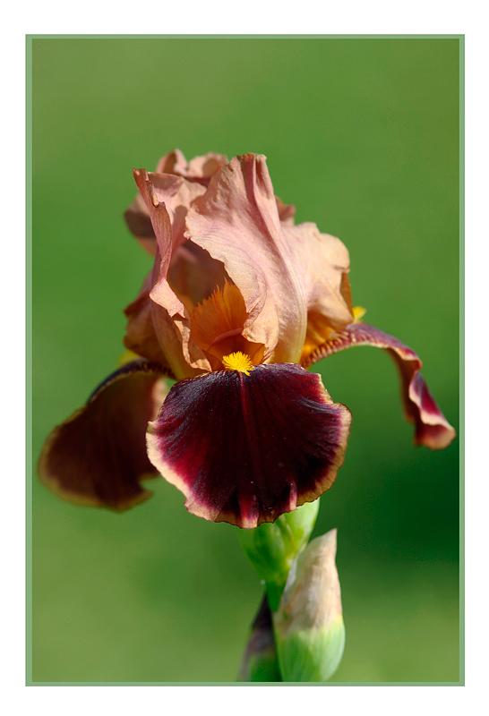 Iris germanica 'Louvois' 2 - Garden perennials