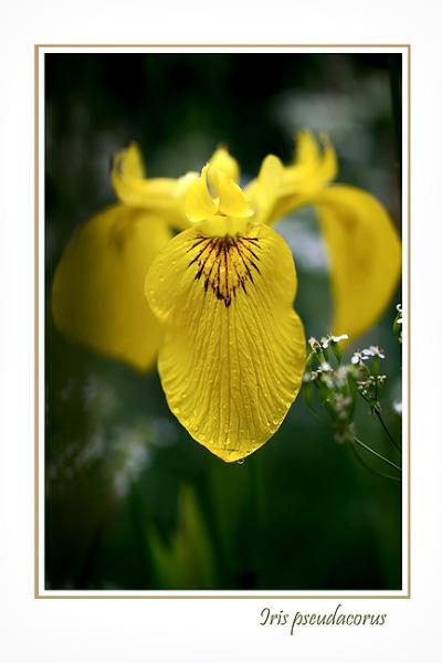Iris pseudacorus - Garden perennials