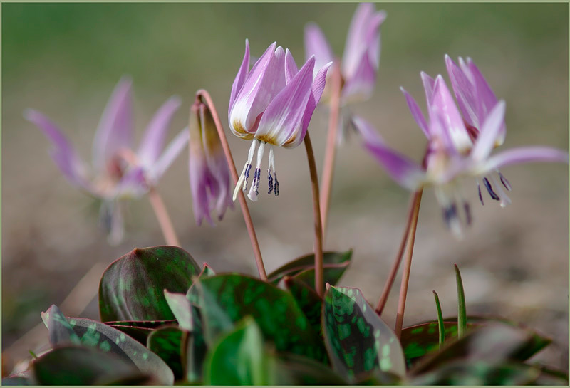 Erythronium dens-canis 'Rose Queen' 3 - Garden perennials