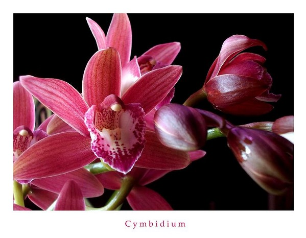 Red Cymbidium - Orchids
