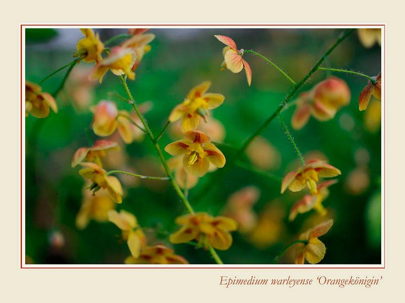 Epimedium warleyense 'Orangekönigin' - Garden perennials