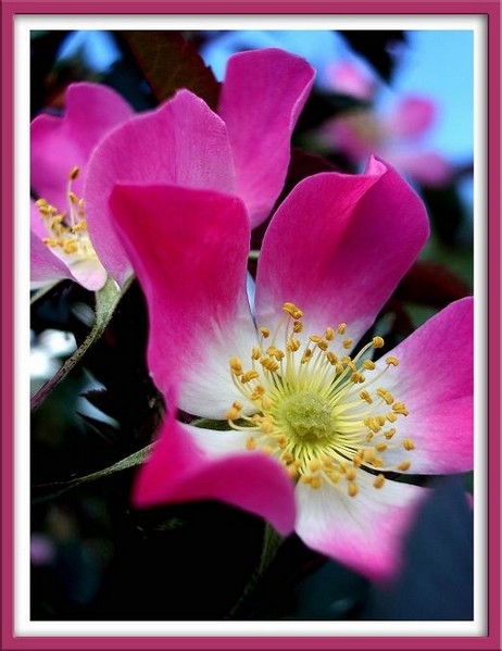 Rosa glauca 1 - Roses
