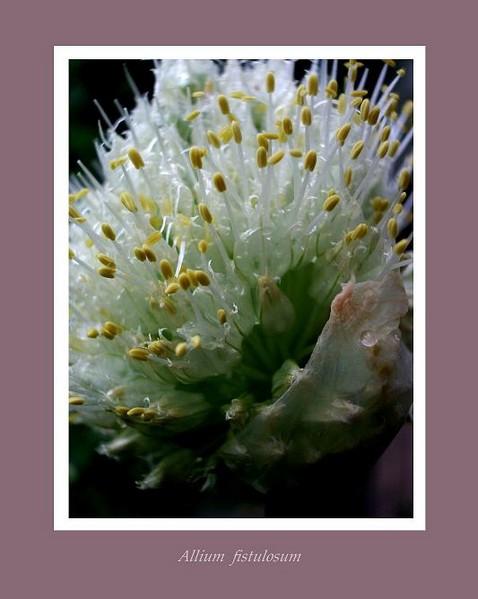 Allium fistulosum - Garden perennials
