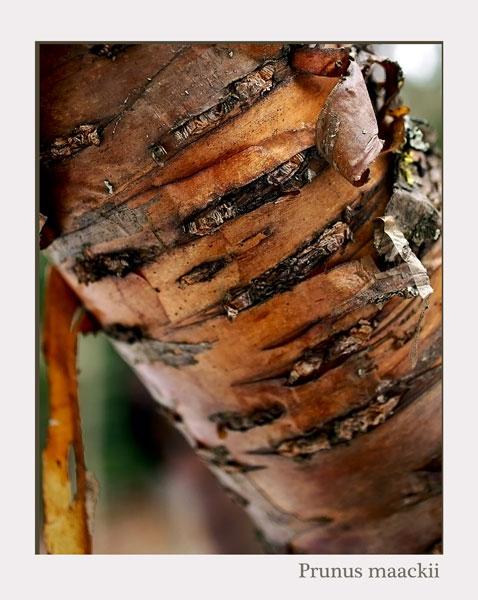Prunus maackii - Trees and Shrubs