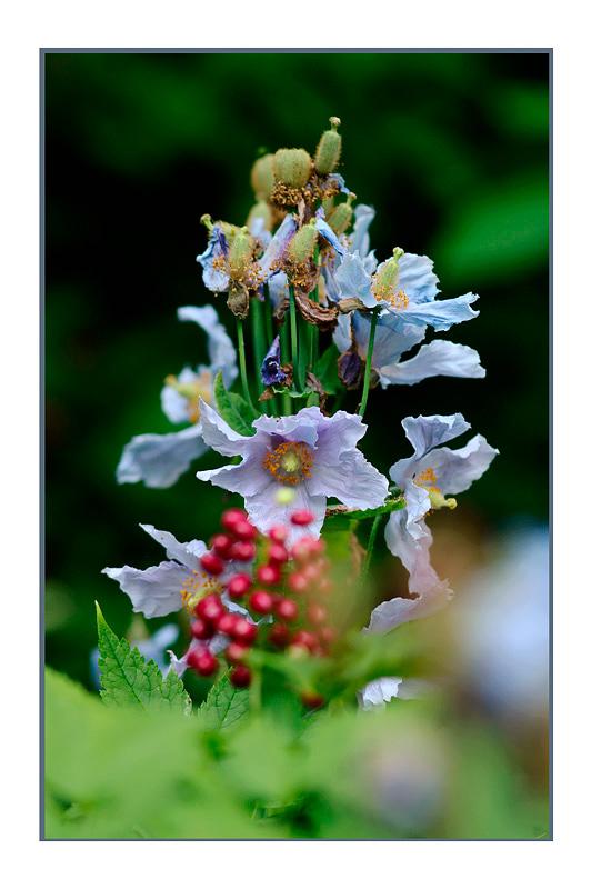 Meconopsis betonicifolia 2 - Garden perennials