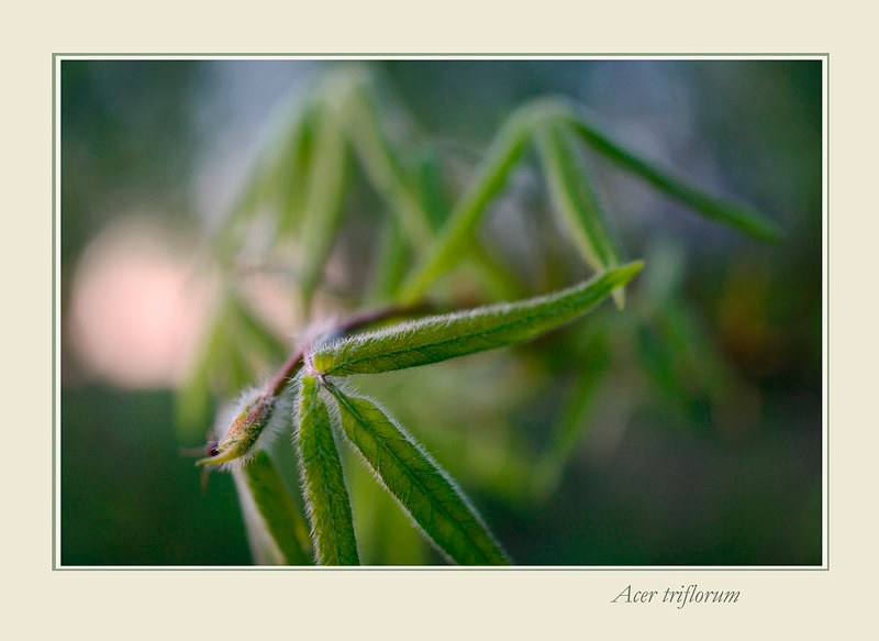 Acer triflorum - Trees and Shrubs