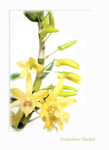 Dendrobium Stardust 1 - Orchids