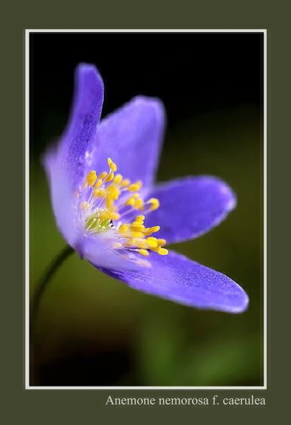 Anemone nemorosa f. caerulea - Garden perennials