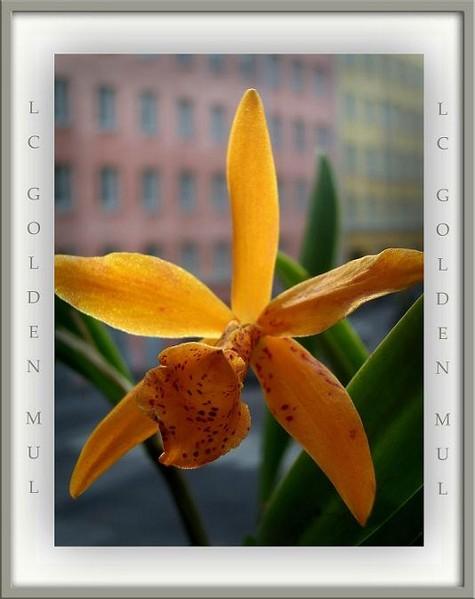 Lc. Golden Mul - Orchids
