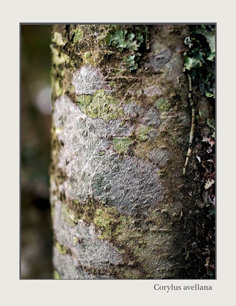 Corylus avellana 3 - Trees and Shrubs