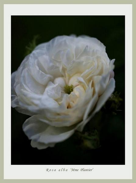 Rosa alba 'Mme Plantier' 3 - Roses