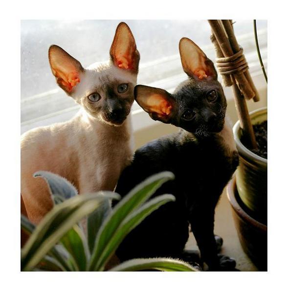 Regina and Romulus - Linssi's kittens