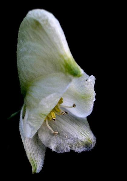 Aconitum napellus 'Album' - Garden perennials