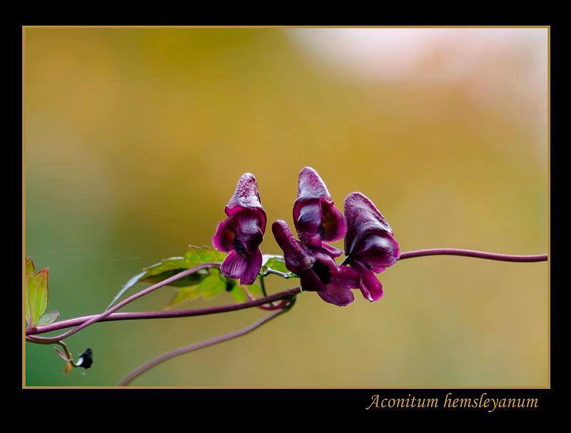 Aconitum hemsleyanum 2 - Garden perennials