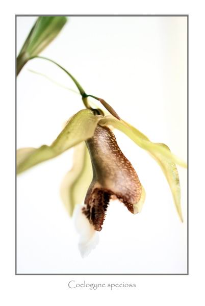 Coelogyne speciosa 3 - Orchids