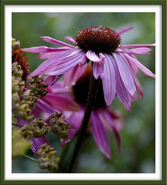Echinacea purpurea 'Magnus' - Garden perennials