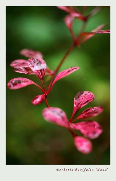 Berberis buxifolia 'Nana' 1 - Trees and Shrubs