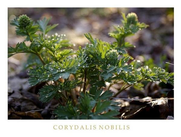 Corydalis nobilis - Garden perennials