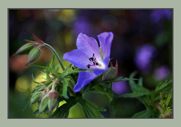 Geranium himalayense - Garden perennials