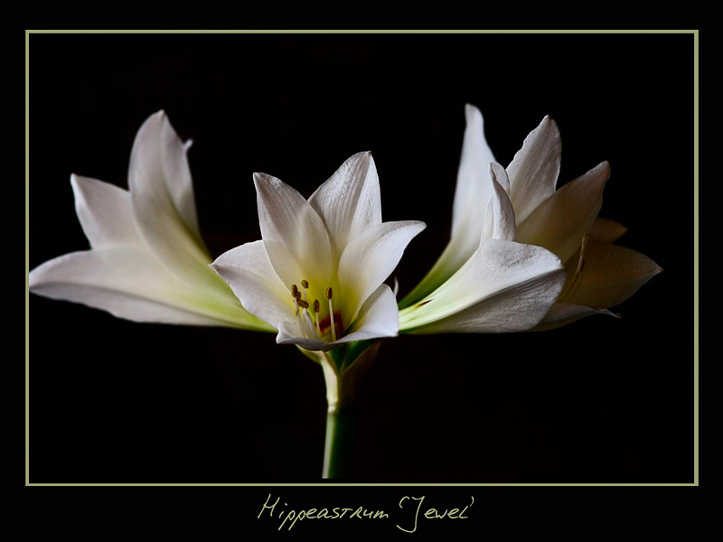 Hippeastrum 'Jewel' - Windowsill Garden
