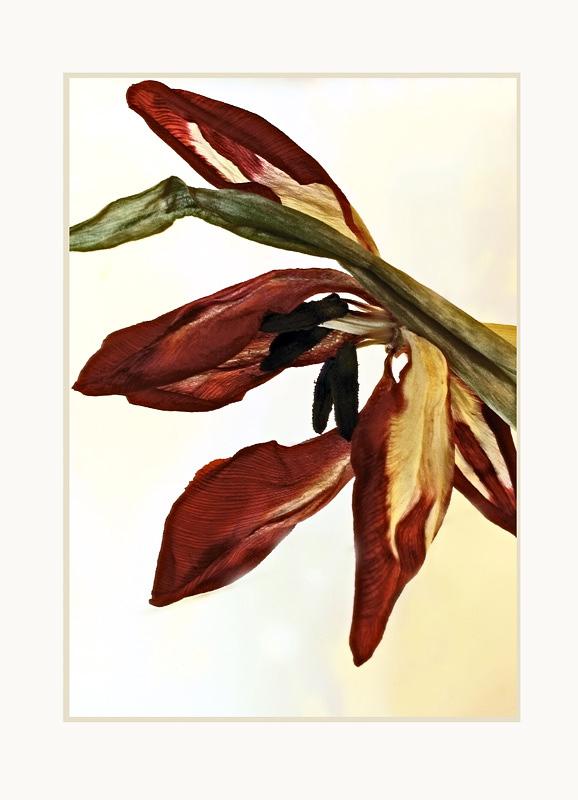 Christmas Tulips 3 - Still Life