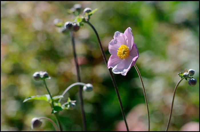Anemone hupehensis - Garden perennials