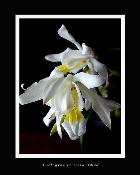 Coelogyne cristata 'Citrina' - Orchids
