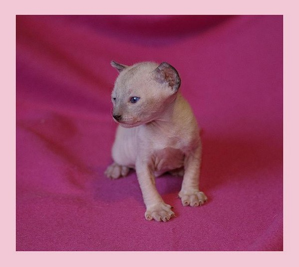 10 days - pointed girl - Linssi's kittens
