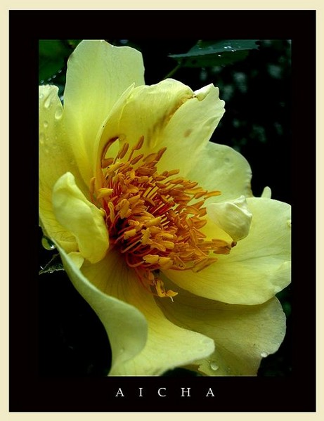 Rosa 'Aicha' 2 - Roses