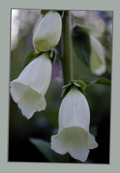 Digitalis purpurea 'Alba' - Garden perennials