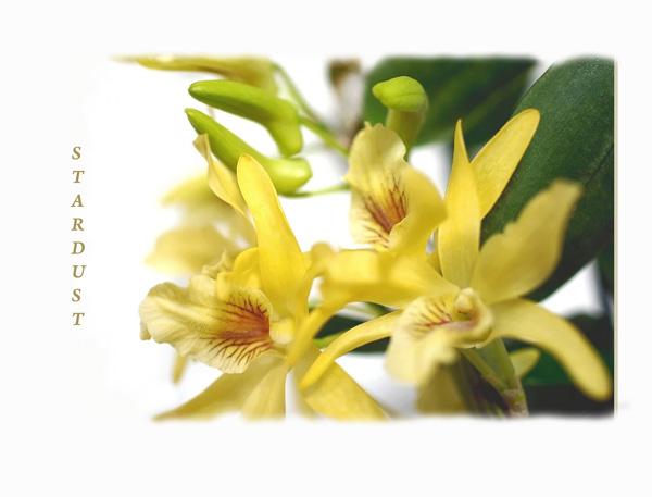 Dendrobium Stardust 2 - Orchids
