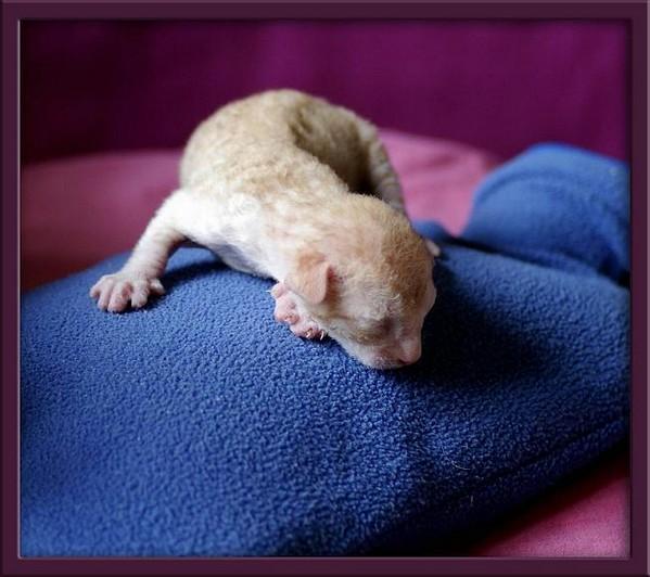 5 days - red/white boy - Linssi's kittens