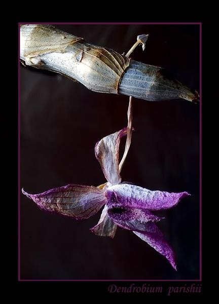 Dendrobium parishii 2 - Orchids