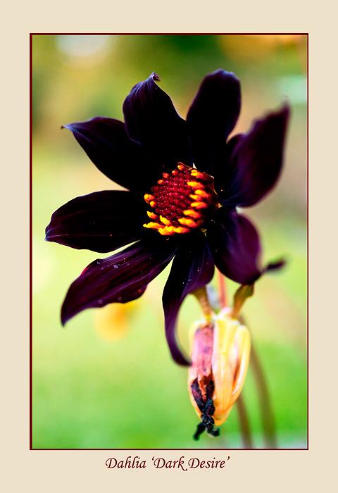 Dahlia 'Dark Desire' 2 - Garden perennials