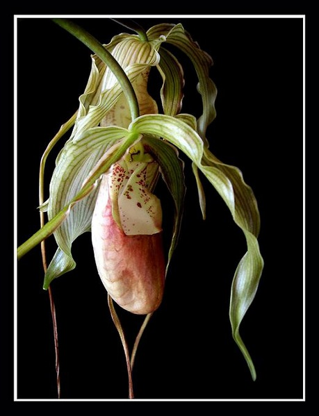 Phragmipedium grande x - Orchids