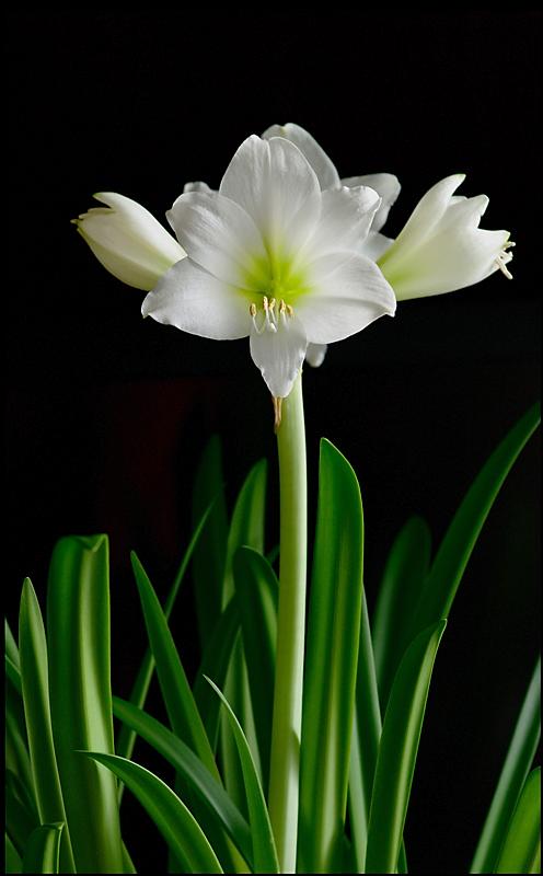 Hippeastrum 'White Garden' 2 - Windowsill Garden