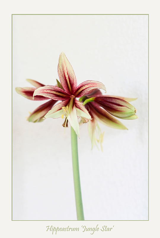Hippeastrum 'Jungle Star' 2 - Windowsill Garden