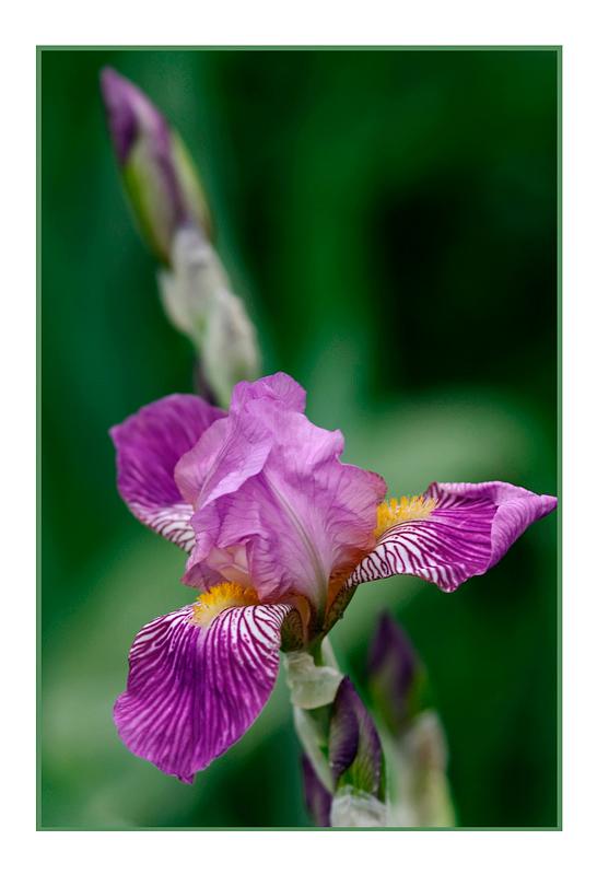 Iris germanica 'La Beauté' - Garden perennials