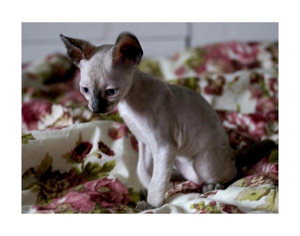 5 weeks - Alchemist Roma - Linssi's kittens