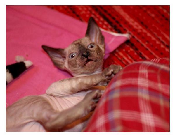 5 weeks - Alchemist Romulus - Linssi's kittens