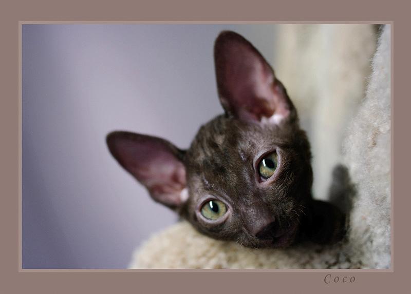 Coco 7 weeks - 2 - Mimmi's kittens