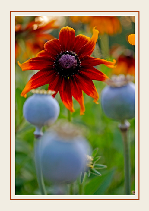 Opium and Rudbeckia - Still Life