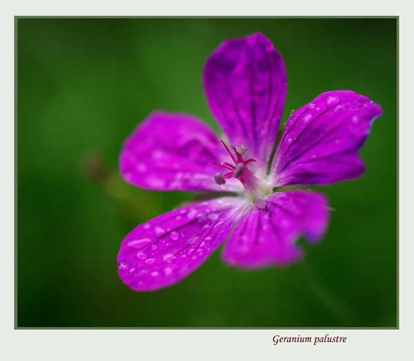 Geranium palustre - Garden perennials