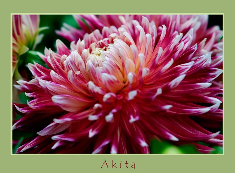 Dahlia 'Akita' - Garden perennials