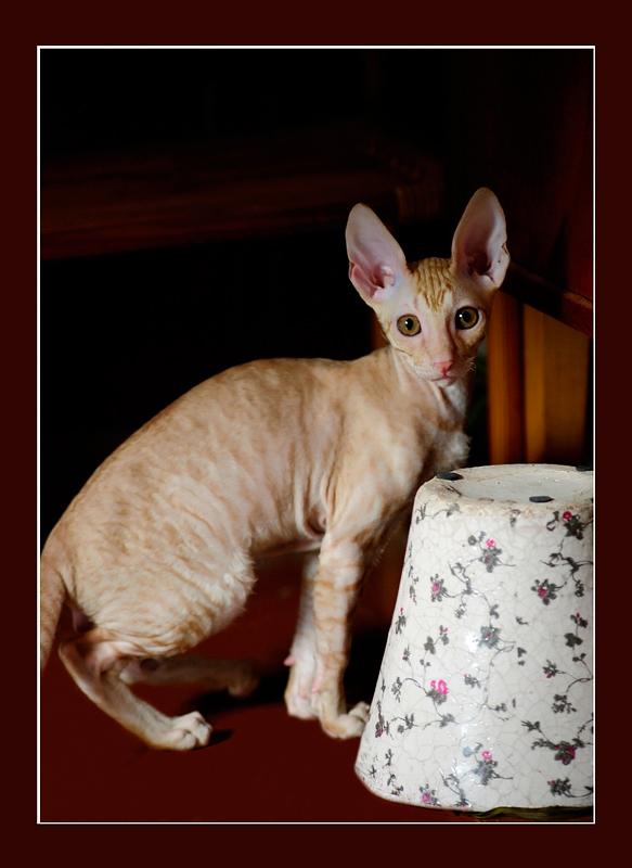 Dexter 12 weeks - Mimmi's kittens