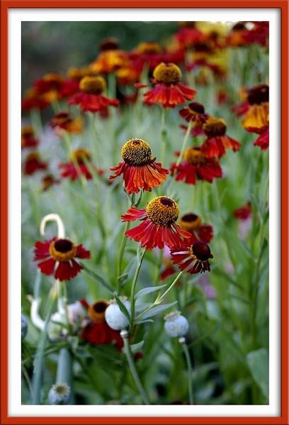 Helenium 'Moerheim Beauty' 1 - Garden perennials