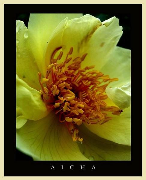 Rosa 'Aicha' 4 - Roses