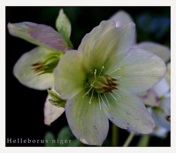 Helleborus niger 3 - Garden perennials
