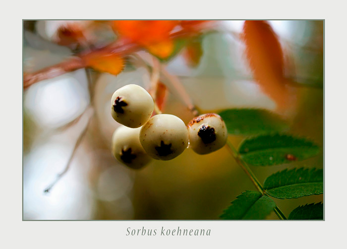 Sorbus koehneana - Trees and Shrubs