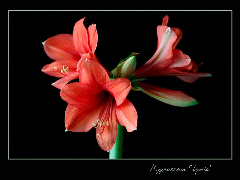 Hippeastrum 'Lydia' - Windowsill Garden